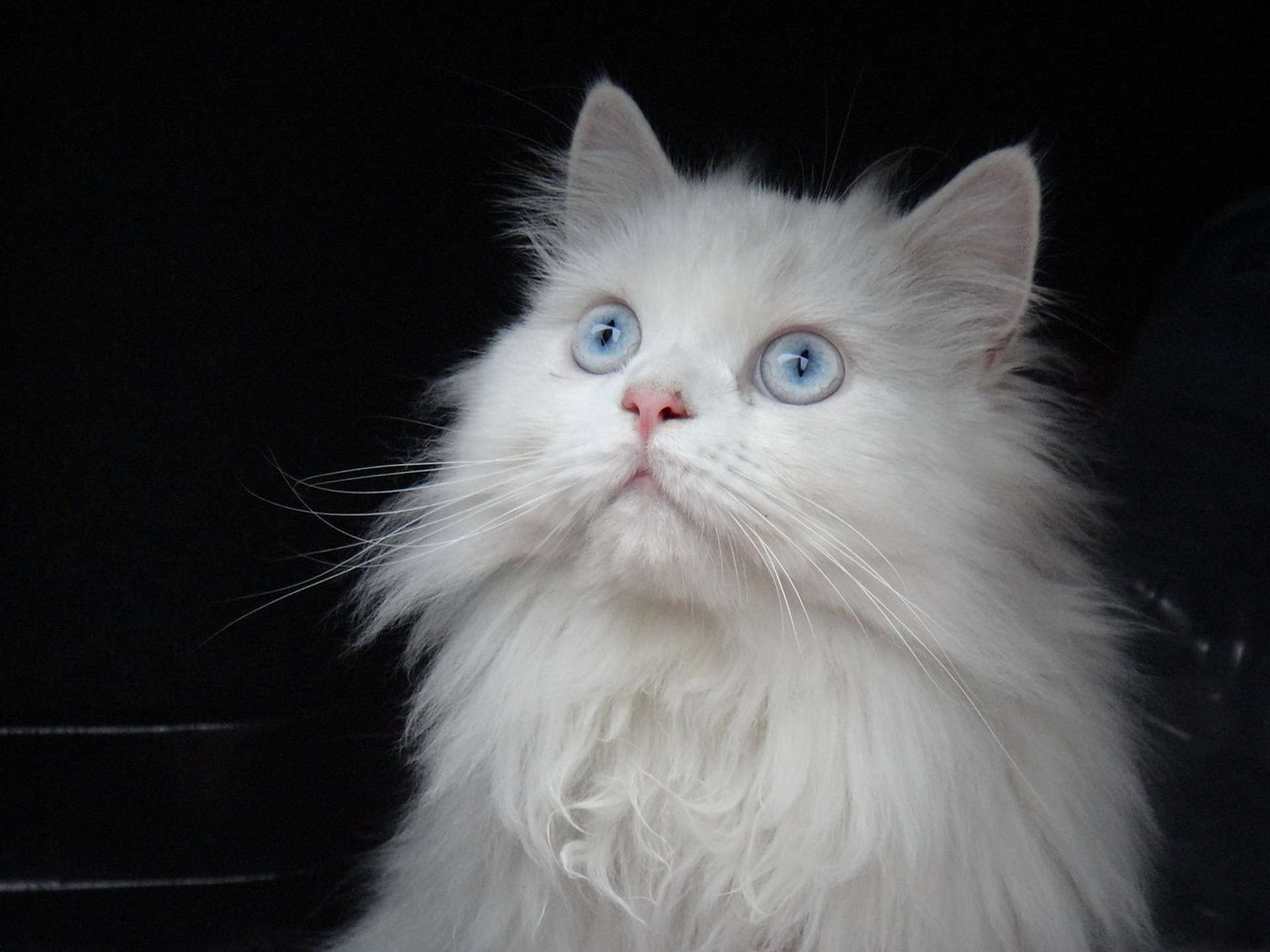 A white Persian cat looking up.