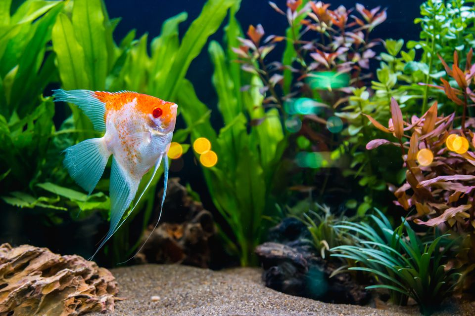 Angelfish in the tropical fish tank