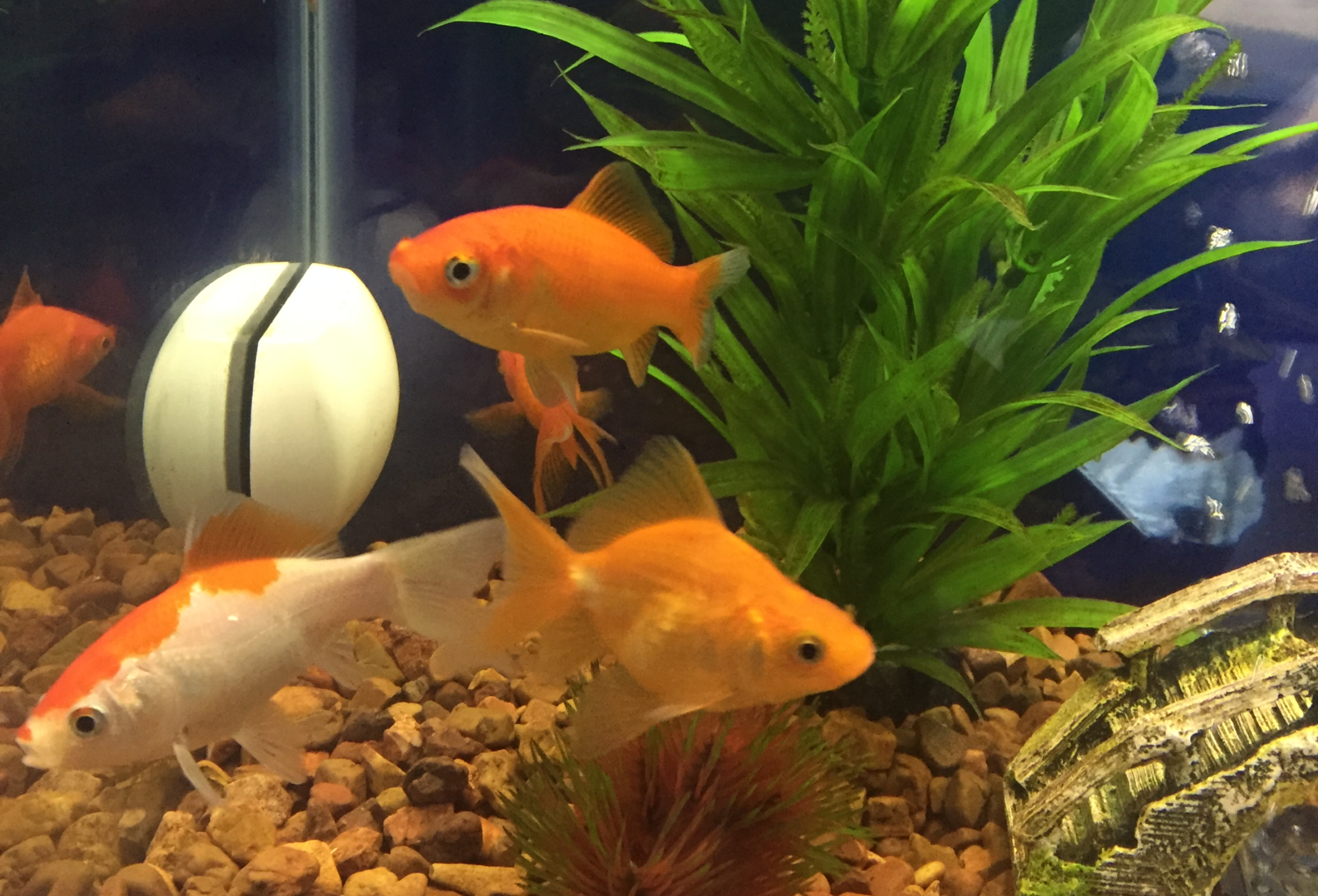 Goldfish in tank with plant