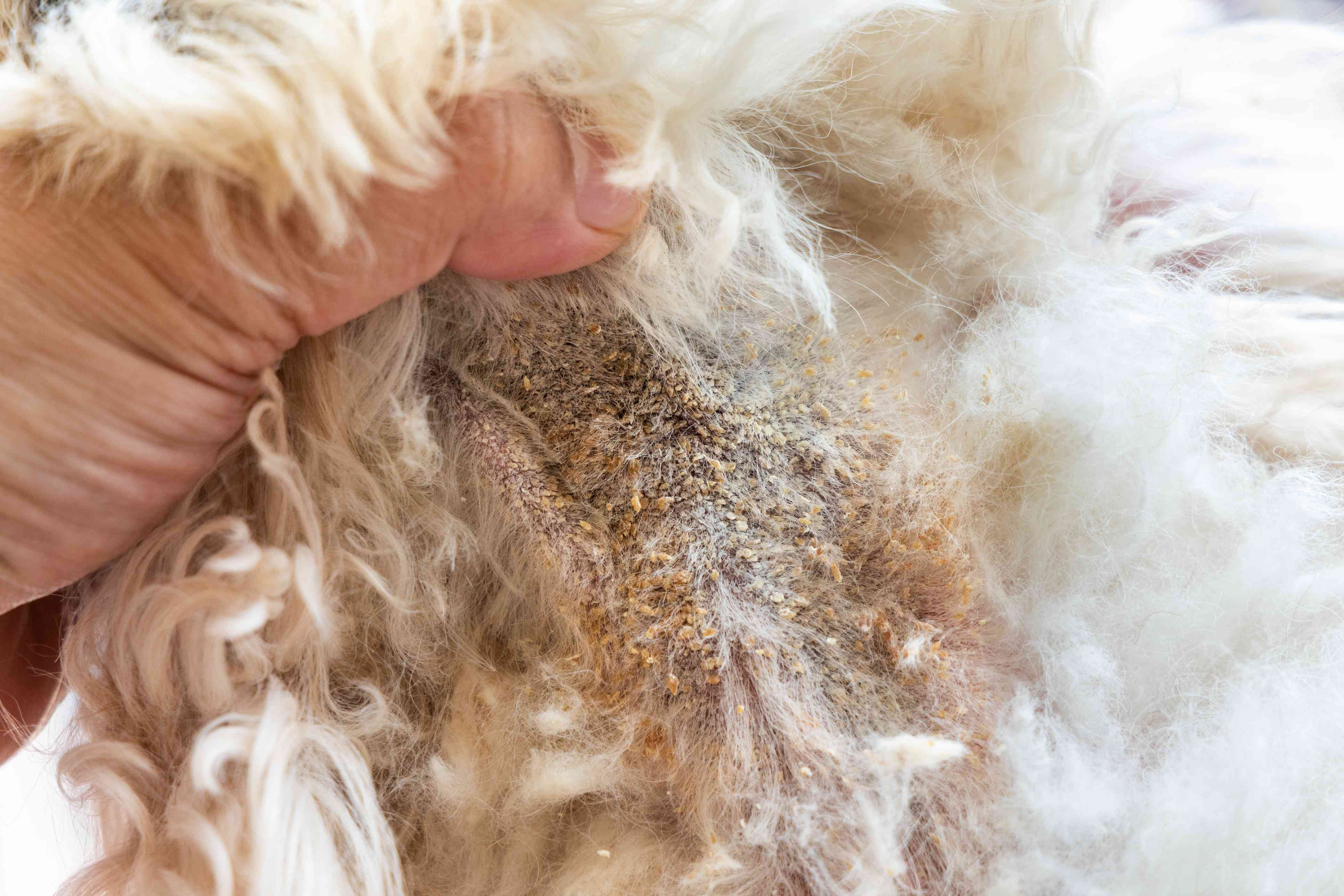 dog skin disease seborrhea