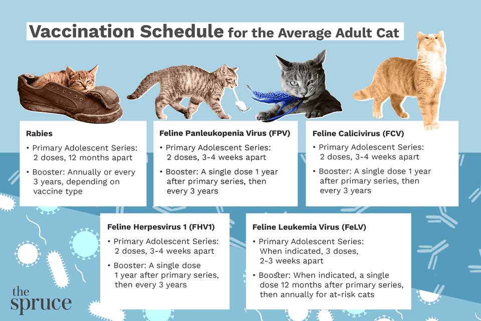 Vaccination Schedule for the Average Adult Cat