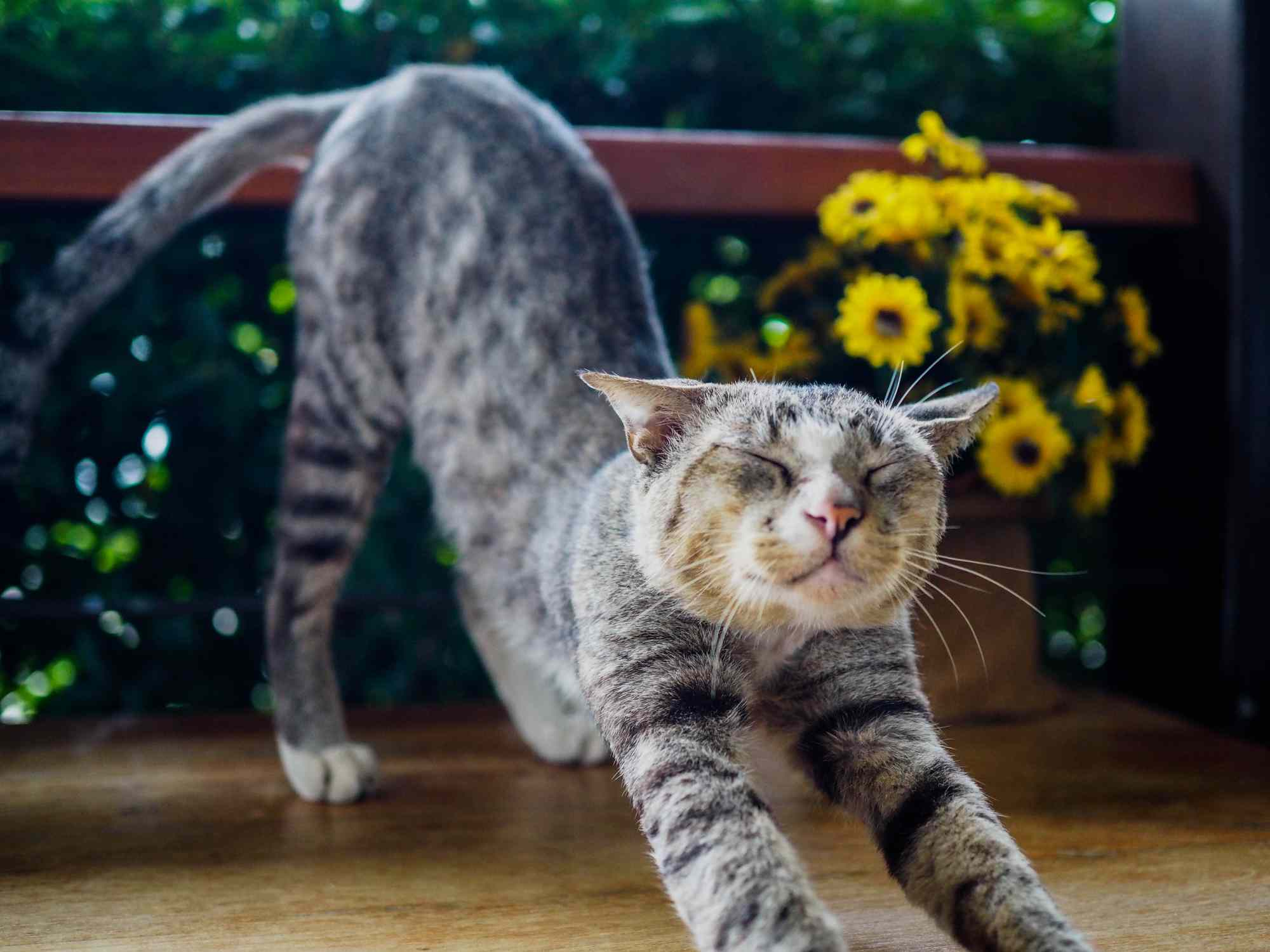 A spotted Egyptian mau cat stretching in front of flowers.