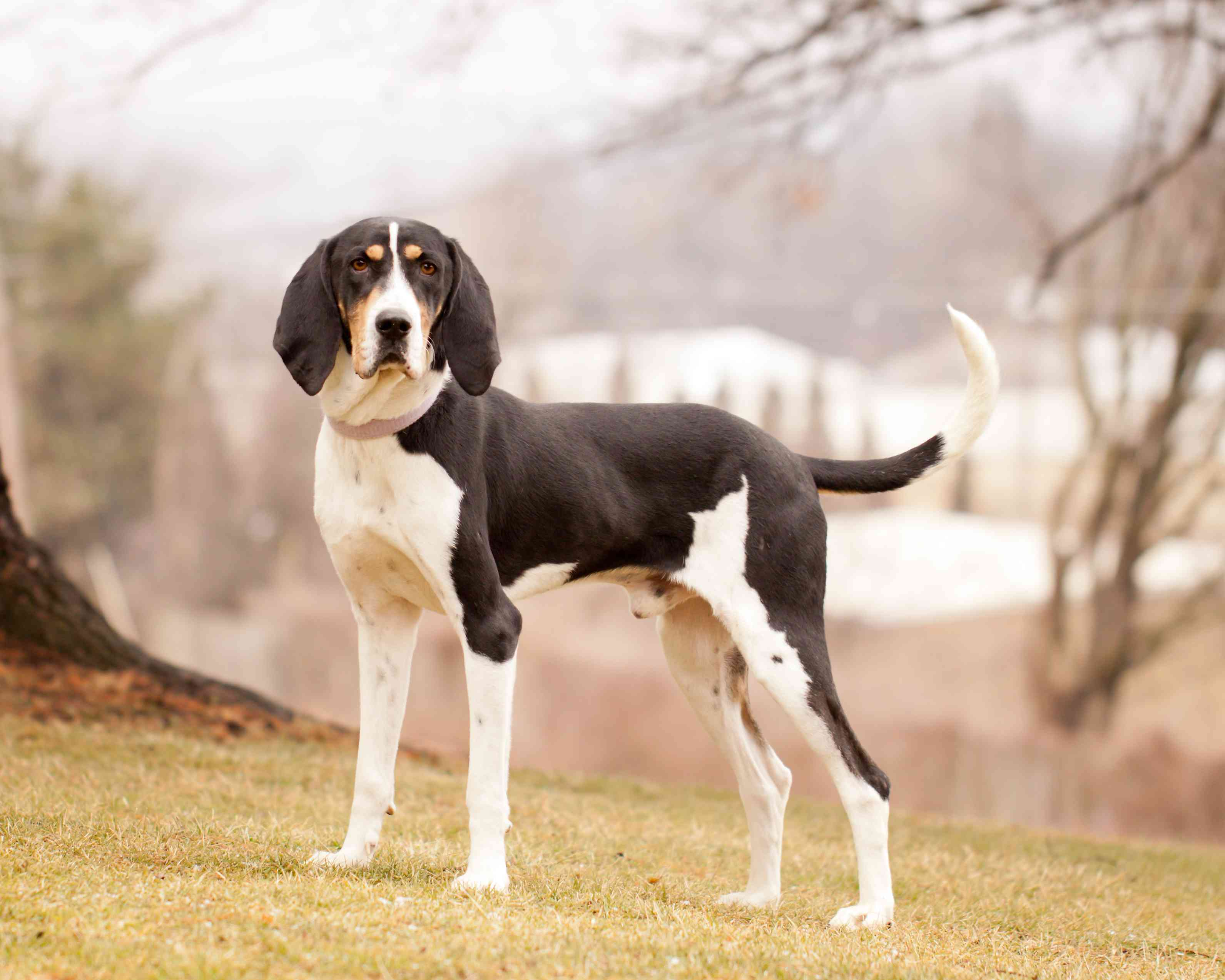 Treeing Walker Coonhound standing outside on grassy hill.