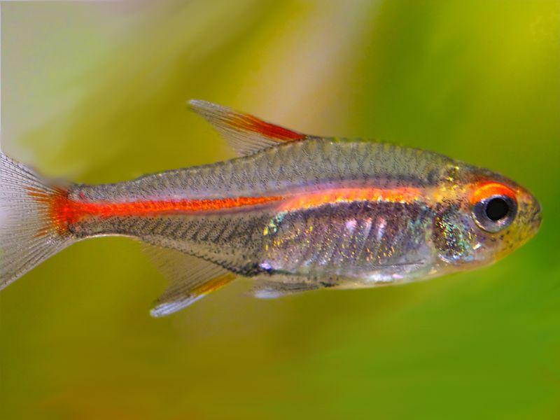 The Glowlight Tetra amazing comunity aquarium fish