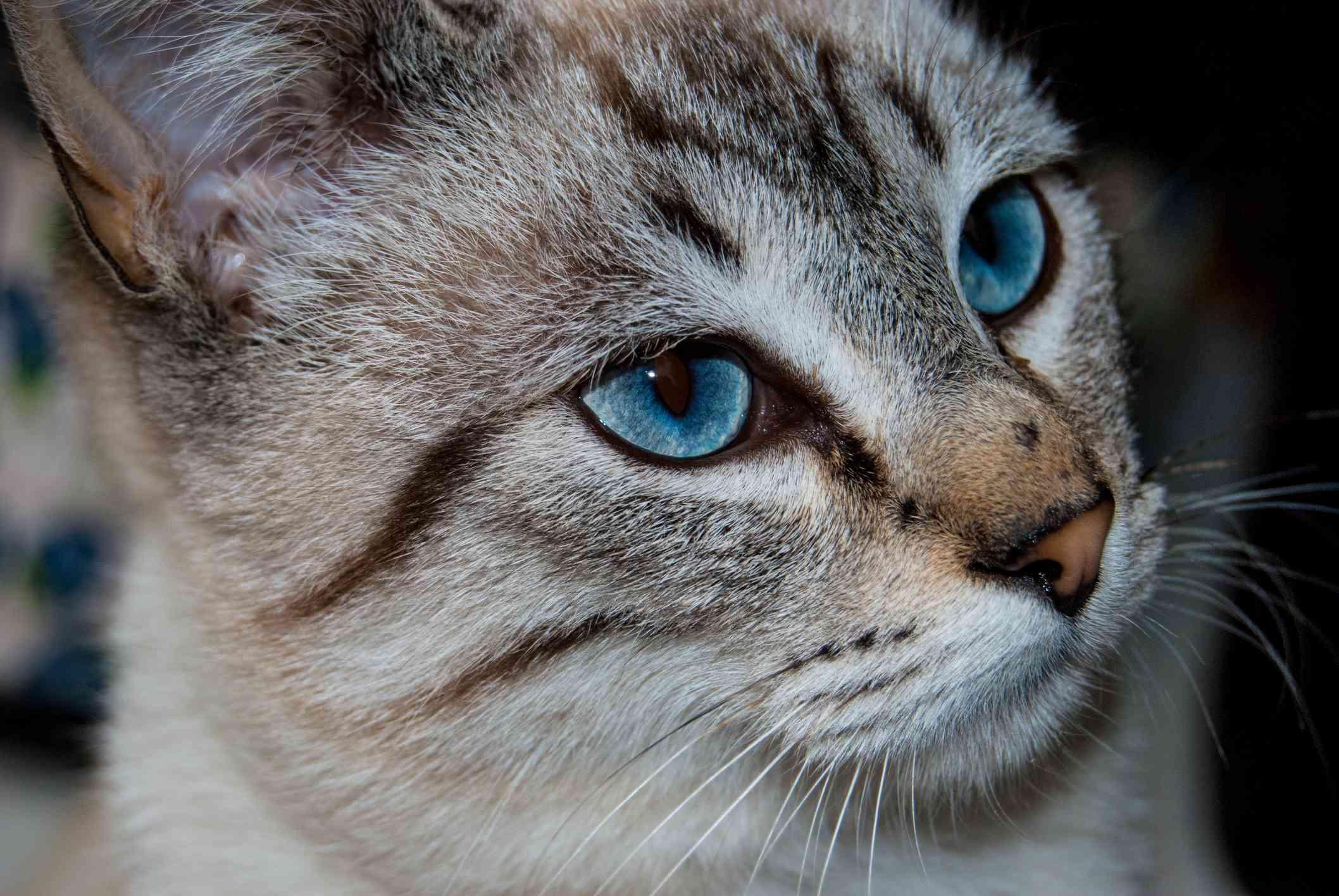 Profile shot of an Ojos Azules
