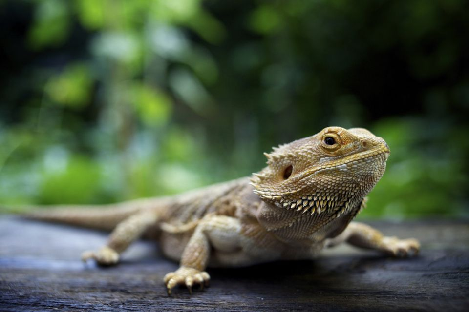 Bearded dragon outside looking at the camera