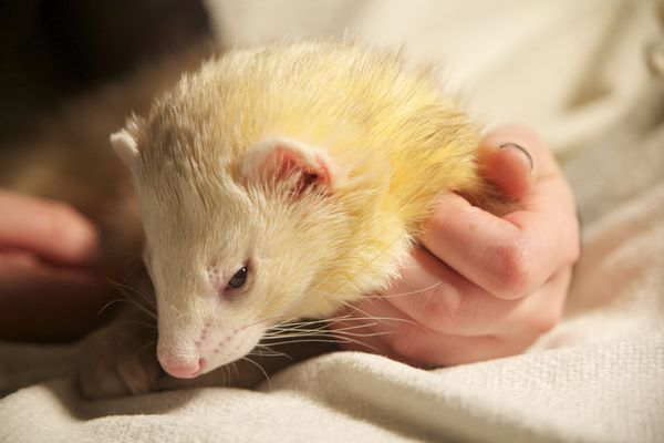 Let sleeping ferrets lie