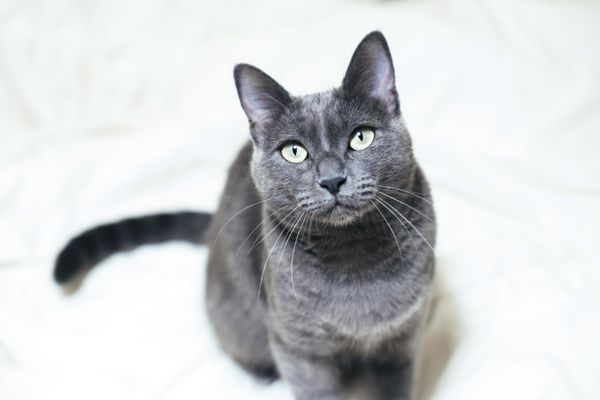 Cute Russian blue cat sitting on the bed