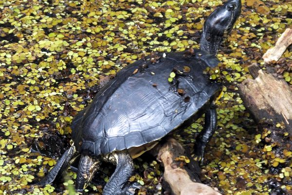 Common Must Turtle in Water