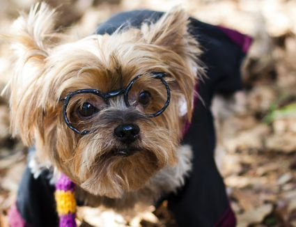 Yorkie wearing Harry Potter glasses and costume