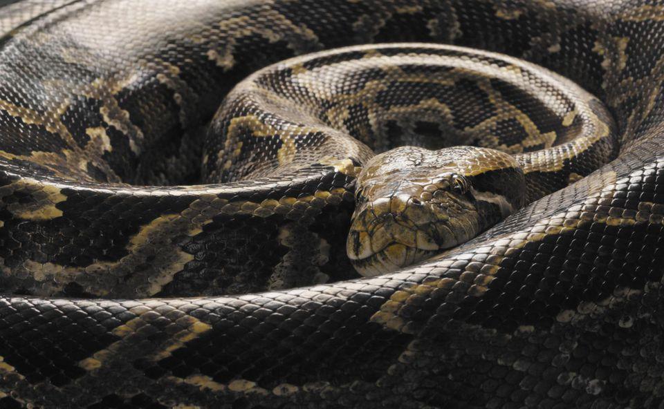 Pitón birmana (Python molurus bivittatus), acurrucado, de cerca