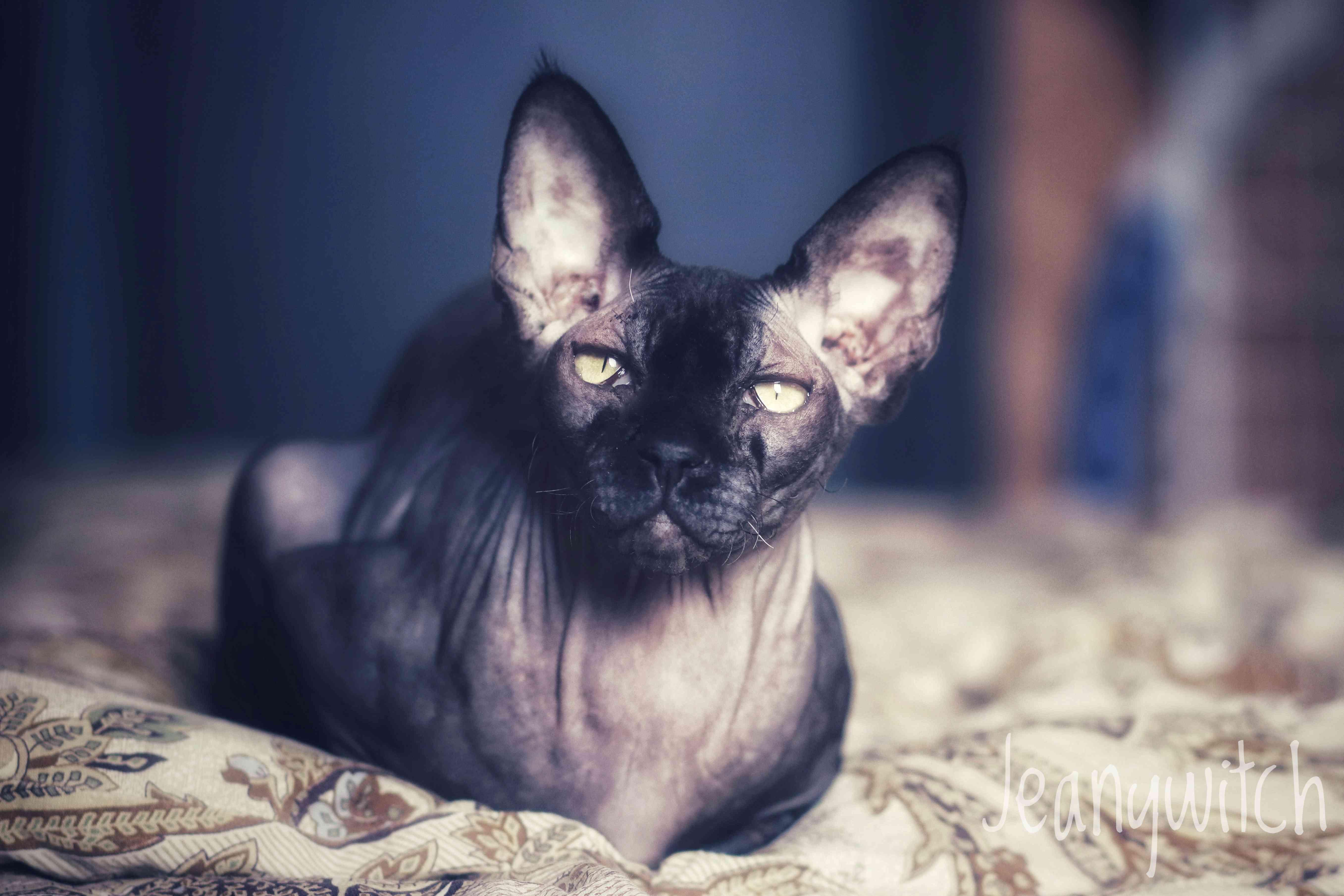 Gato sphynx negro