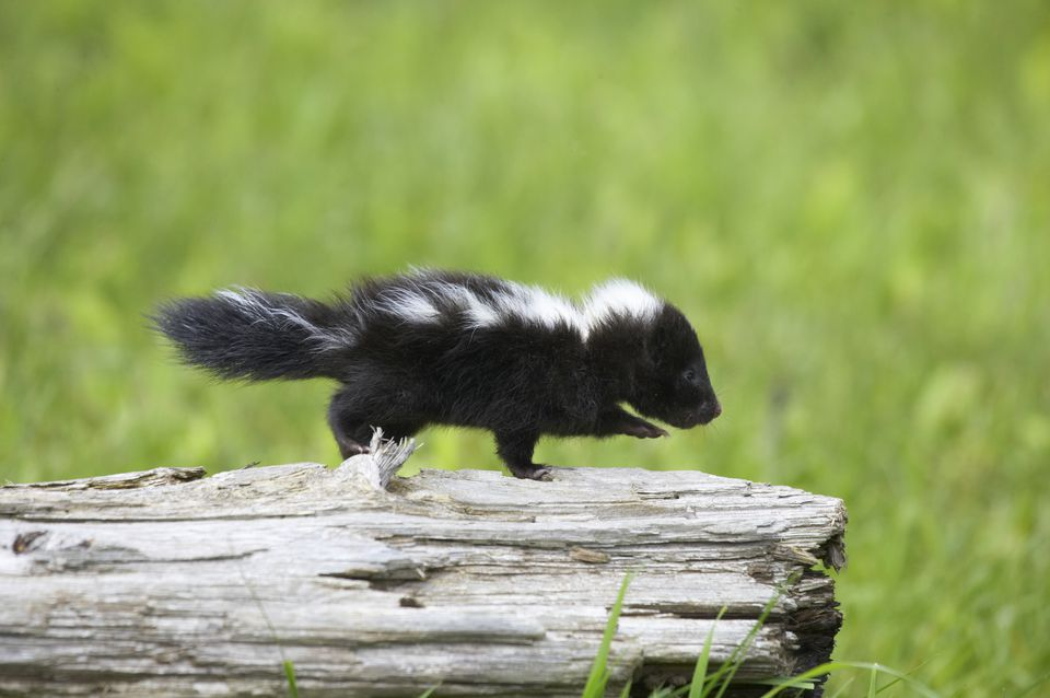 Baby skunk on log