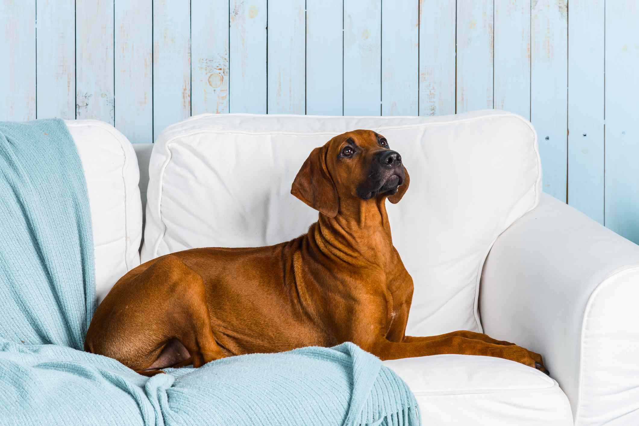 Rhodesian Ridgeback puppy on sofa