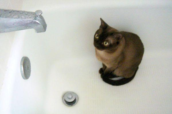 Siamese in a bath tub.