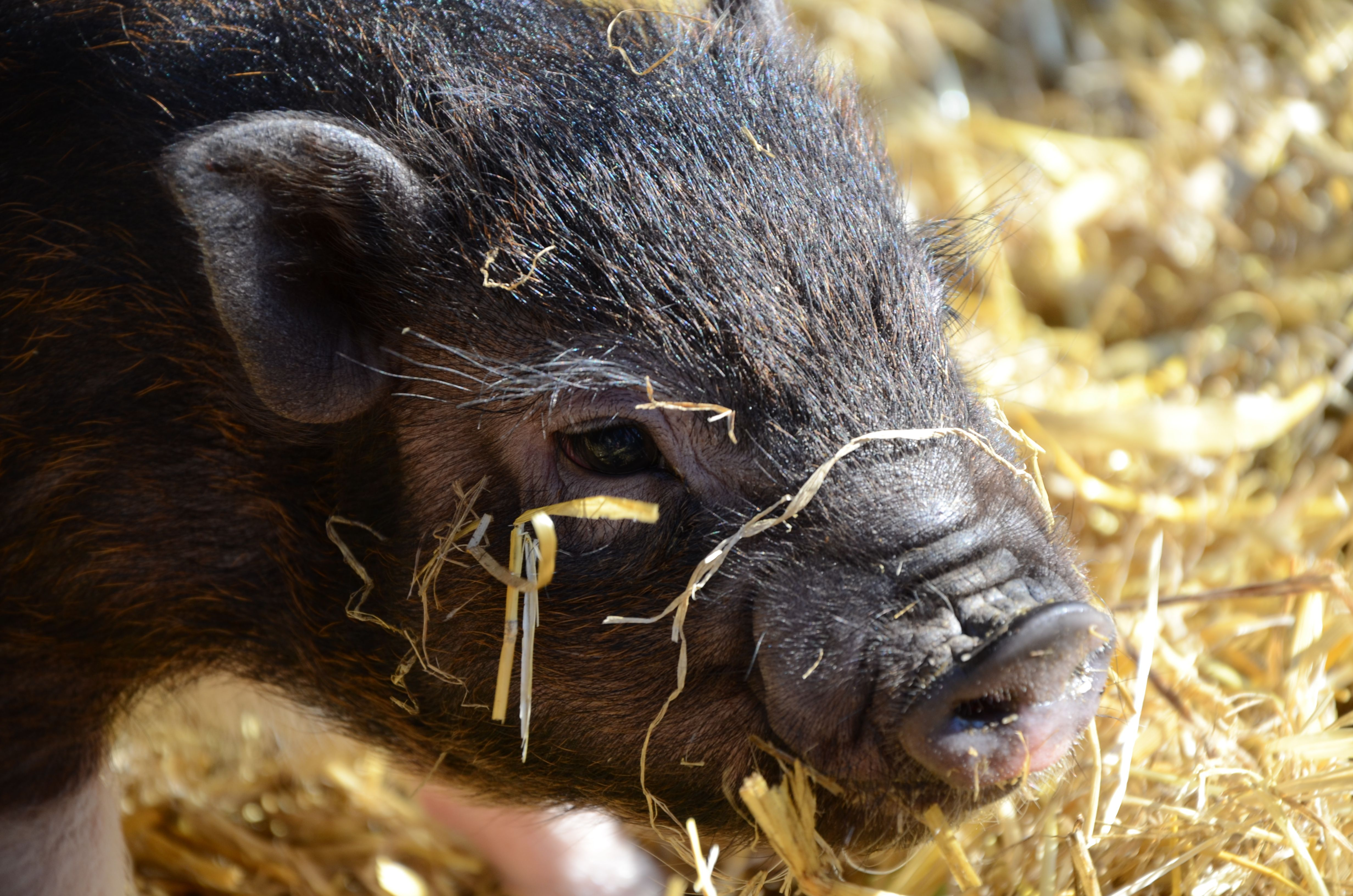 Close-Up Of Pot-Bellied Pig On Hay