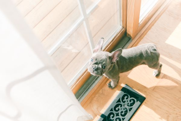 French Bulldog puppy standing by glass doors
