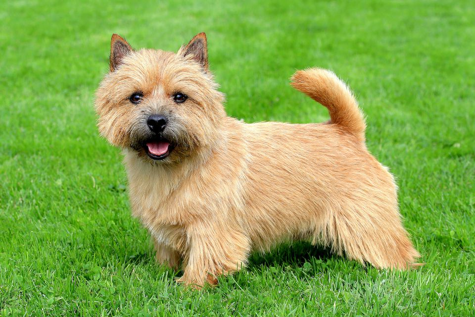 norwich terrier posing in green grass