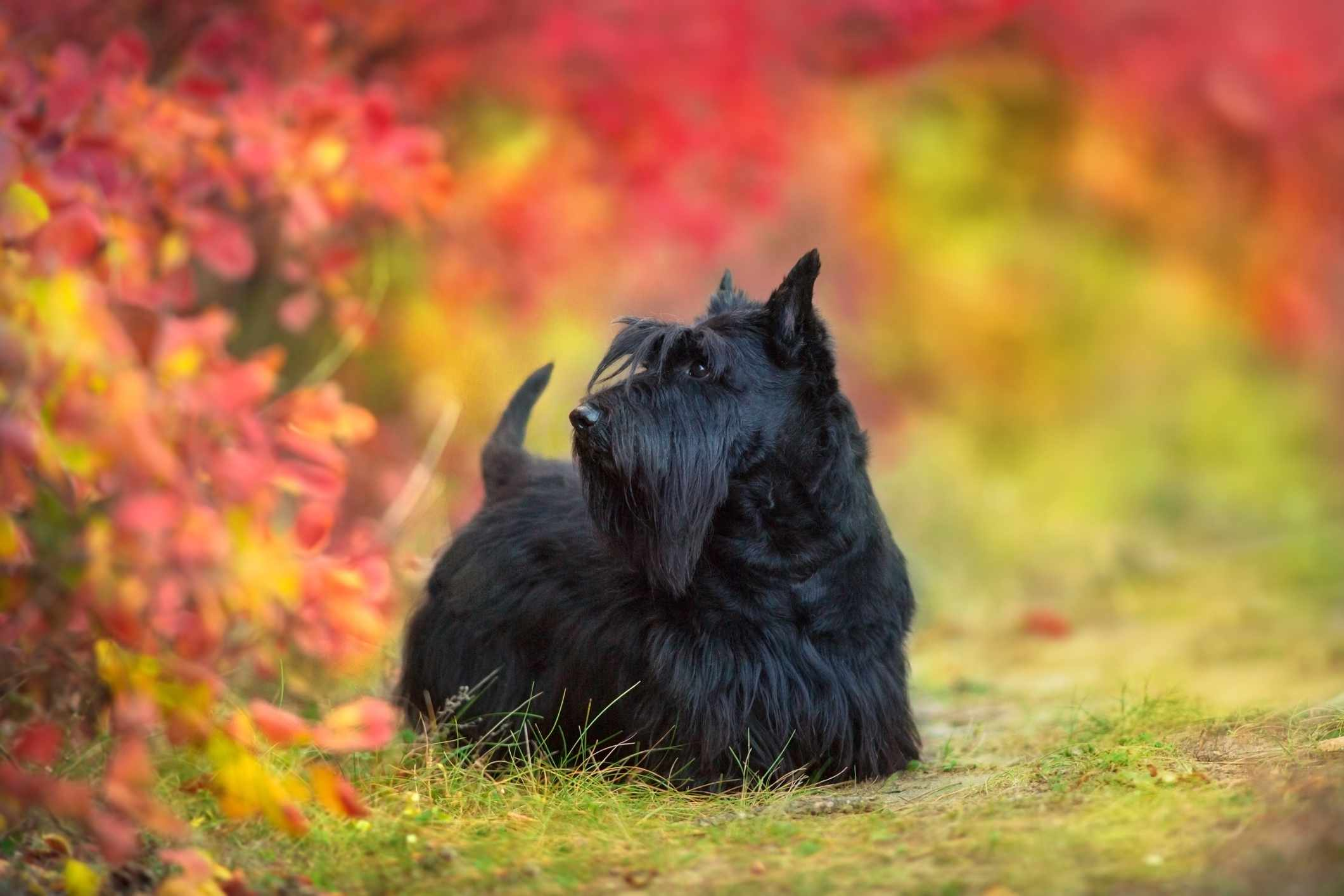 Scottish Terrier standing in front of an autumnal leaves background