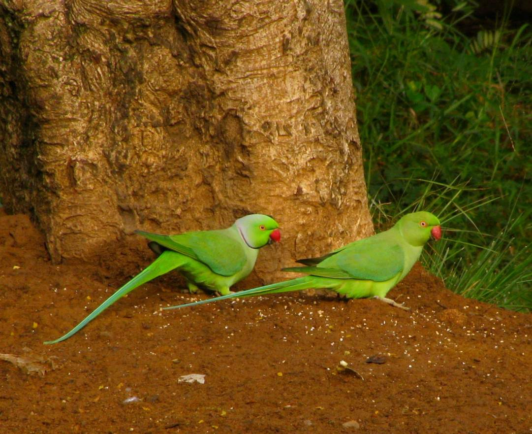 Indian ringneck parakeets, male and female