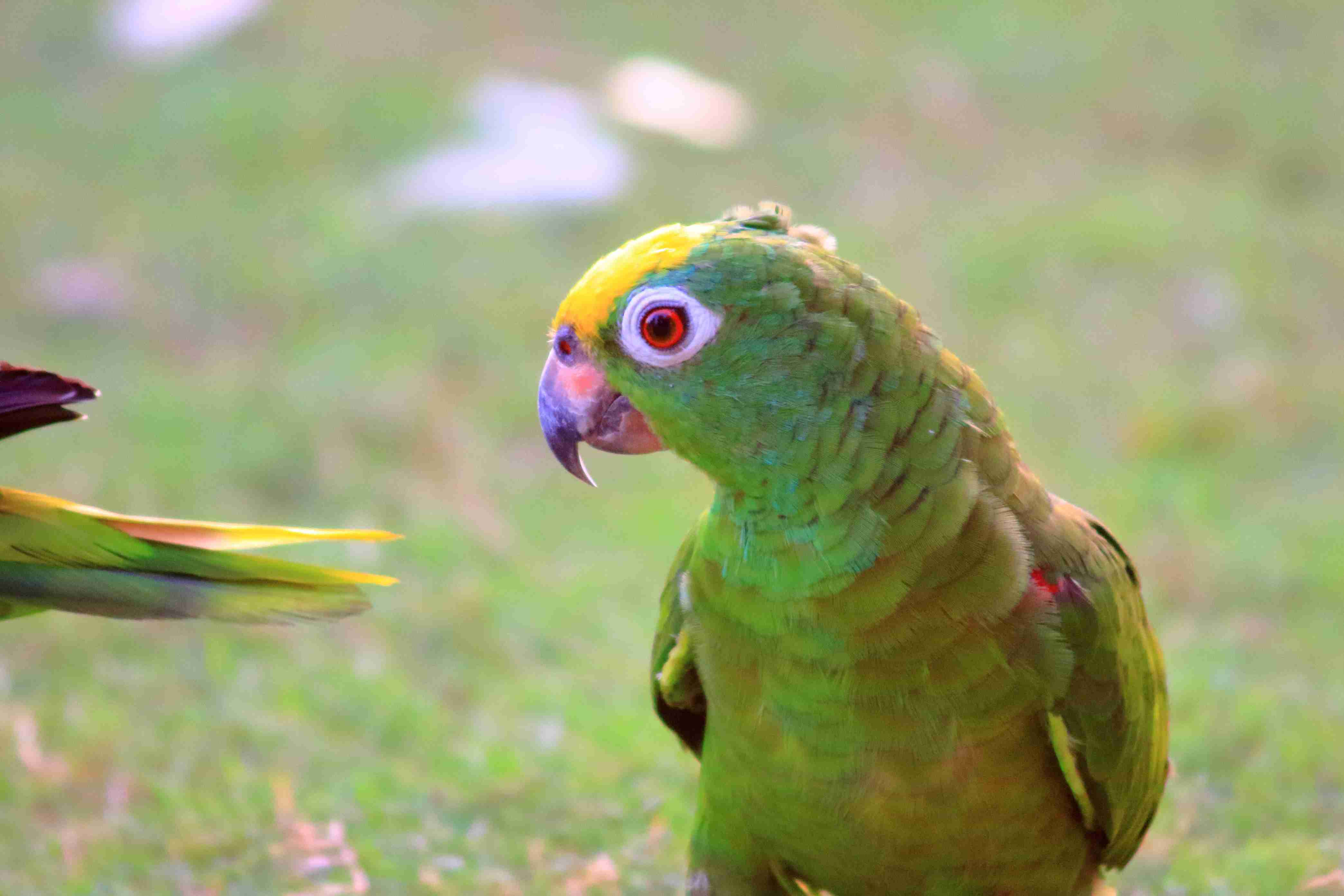 how to identify common green parrots