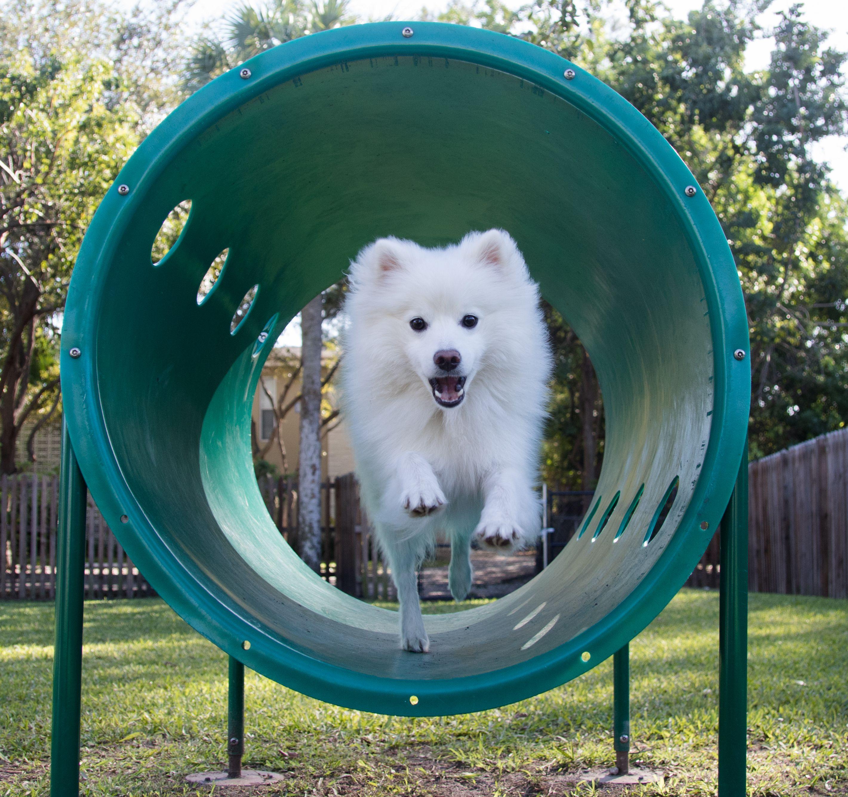American eskimo dog on agility equipment at park