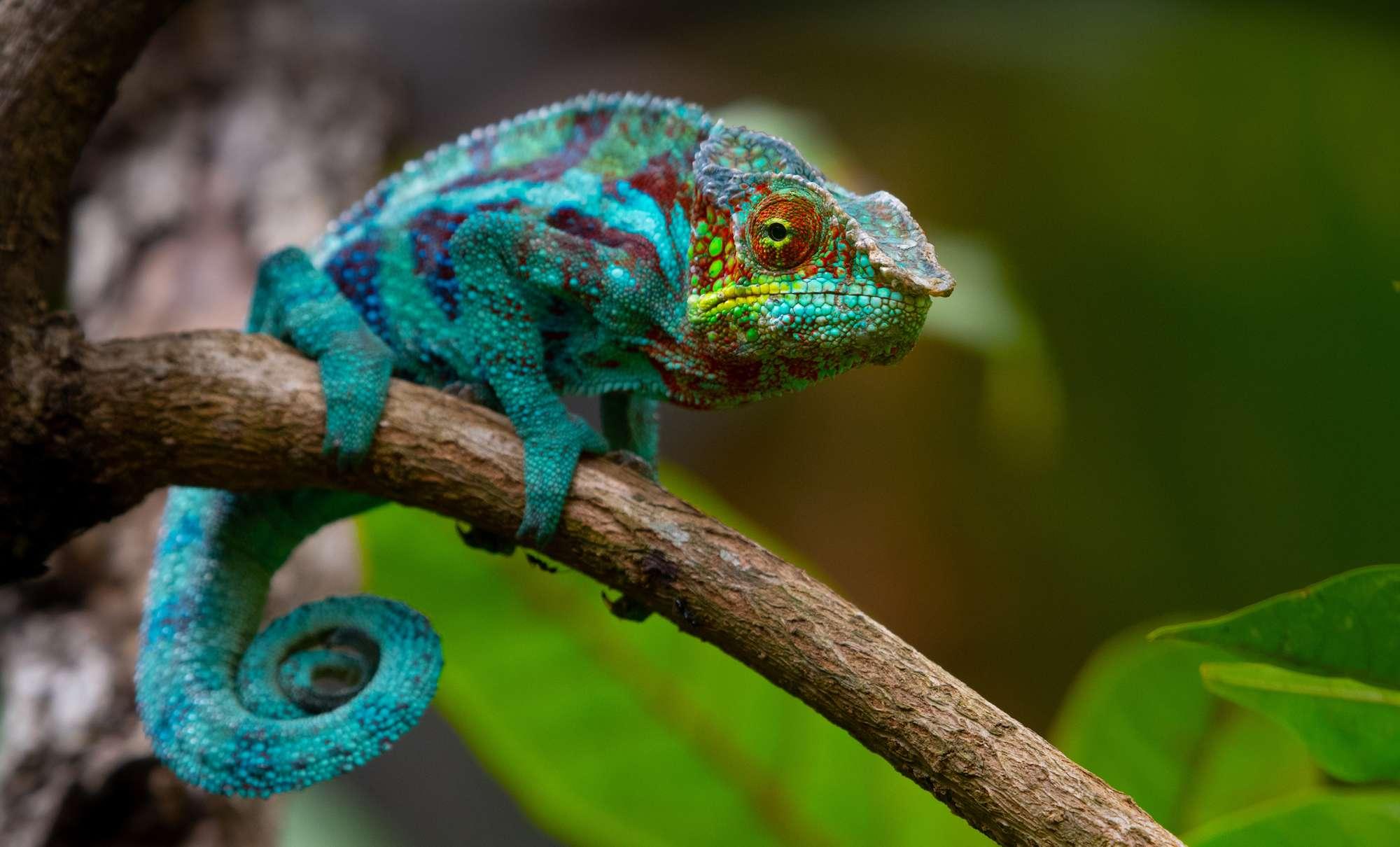 Chameleon changing turquoise