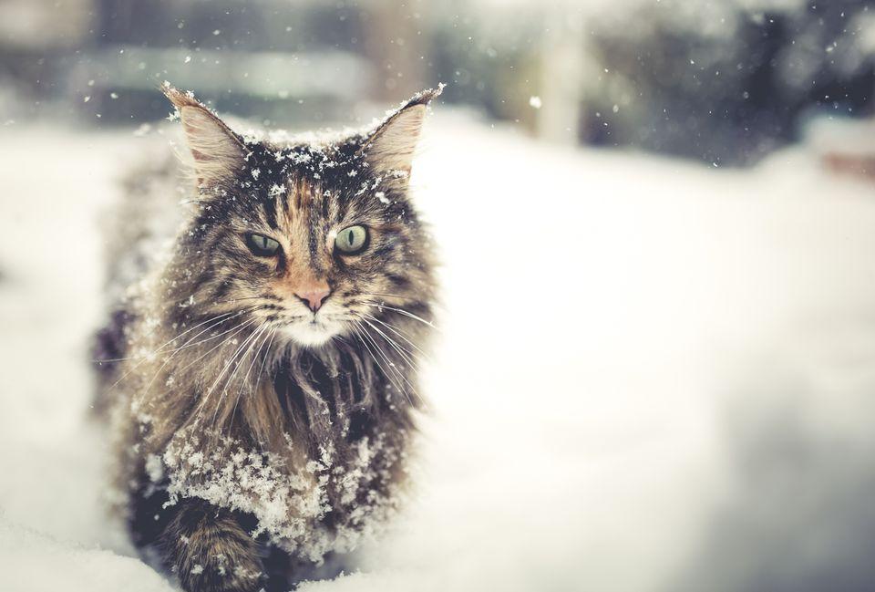 Un gato de bosque noruego de pelo largo que camina en la nieve.
