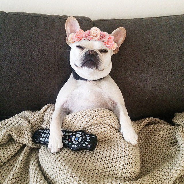 A white Frenchie with a flower crown on sitting up on the couch with a blanket on its lap holding a TV remote.