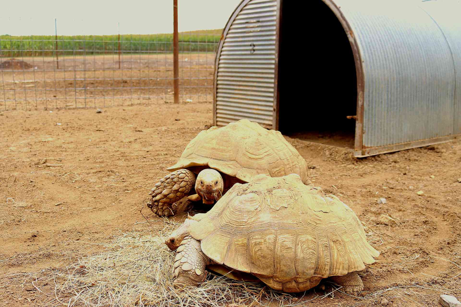 Two sulcata tortoises walking outside metal shelter in wired fence enclosure