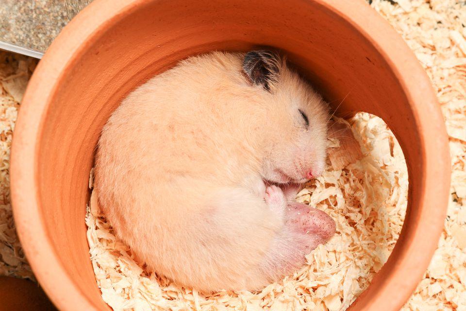 Syrian hamster sleeping in a clay pot.
