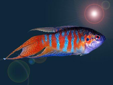 Paradise Fish Breed Profile
