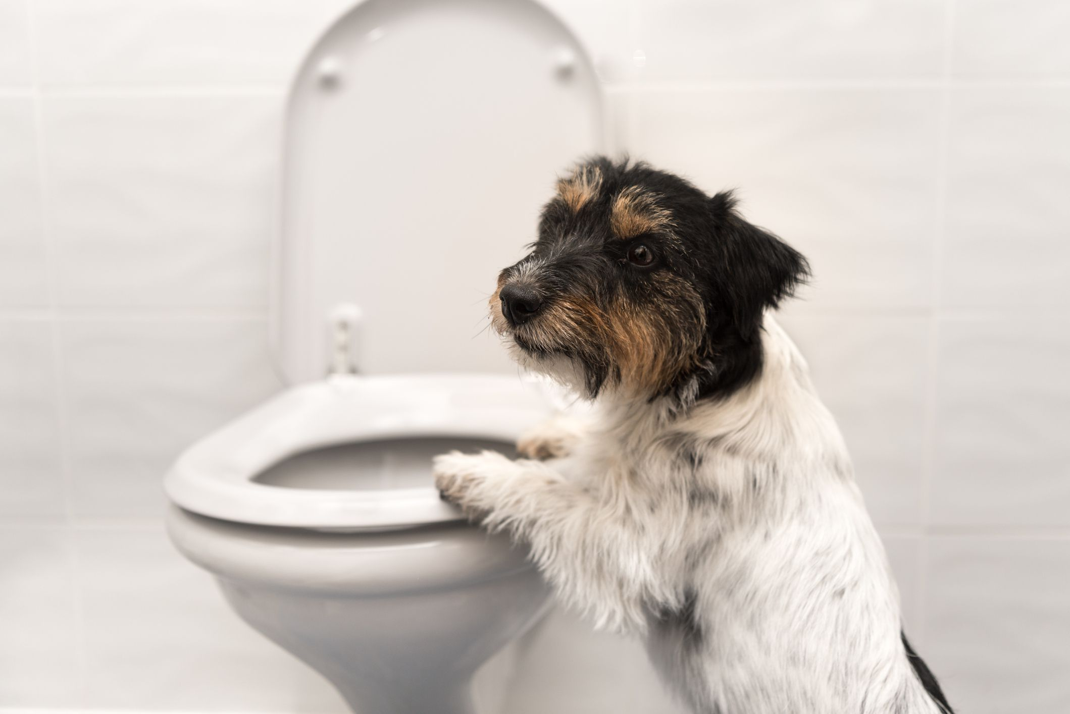 Small dog with two front paws on toilet.