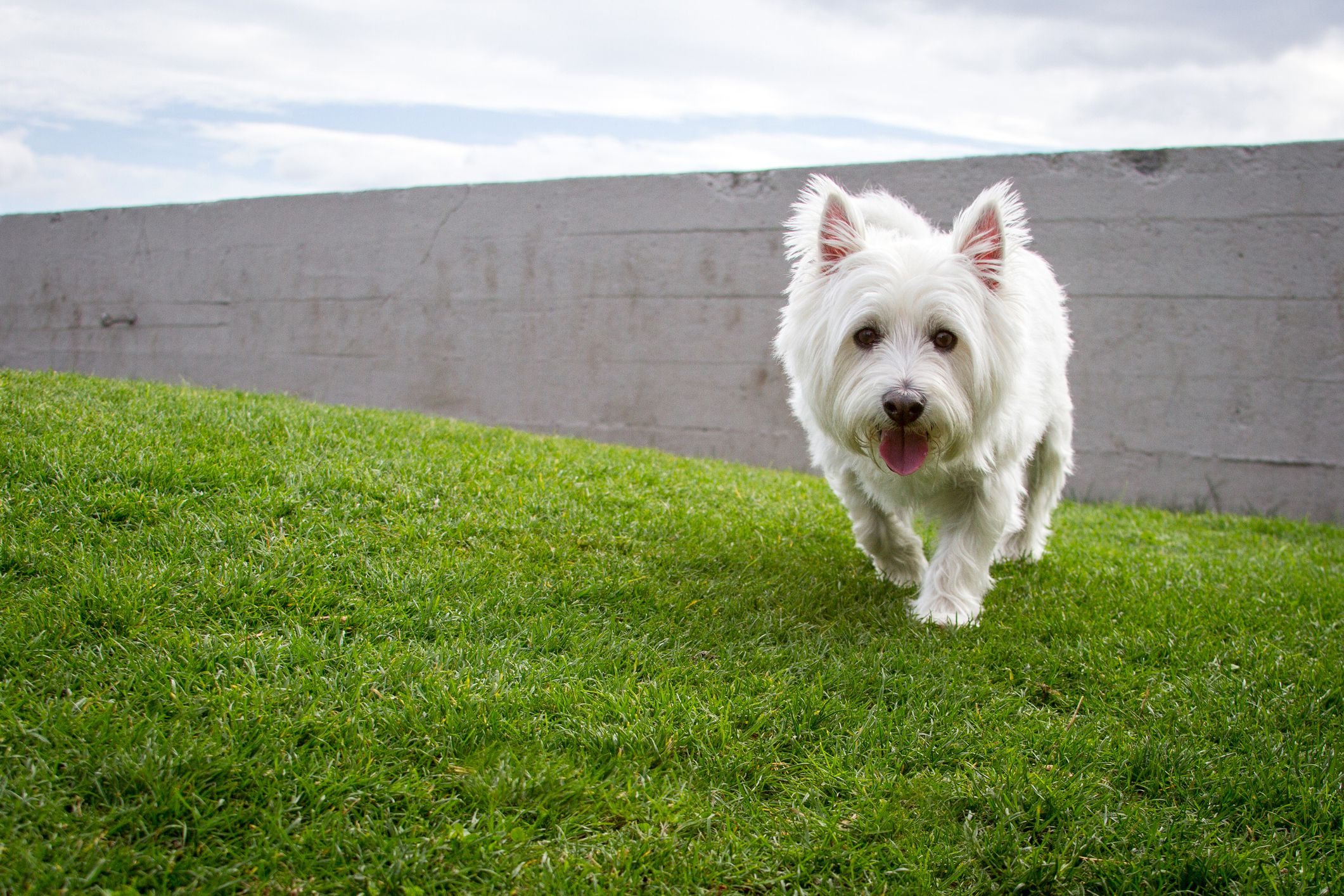 West Highland White Terrier Full