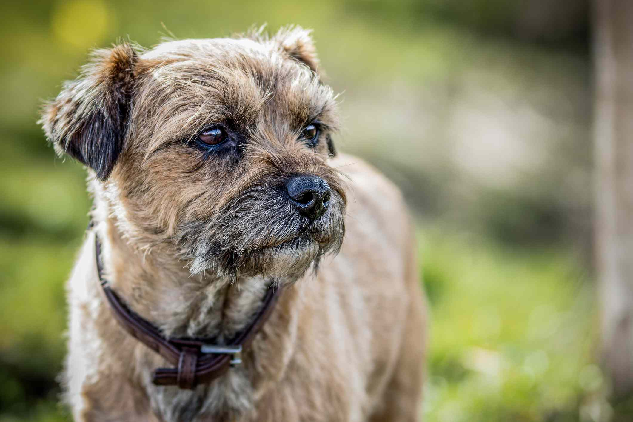 Tiro en la cabeza de Border Terrier