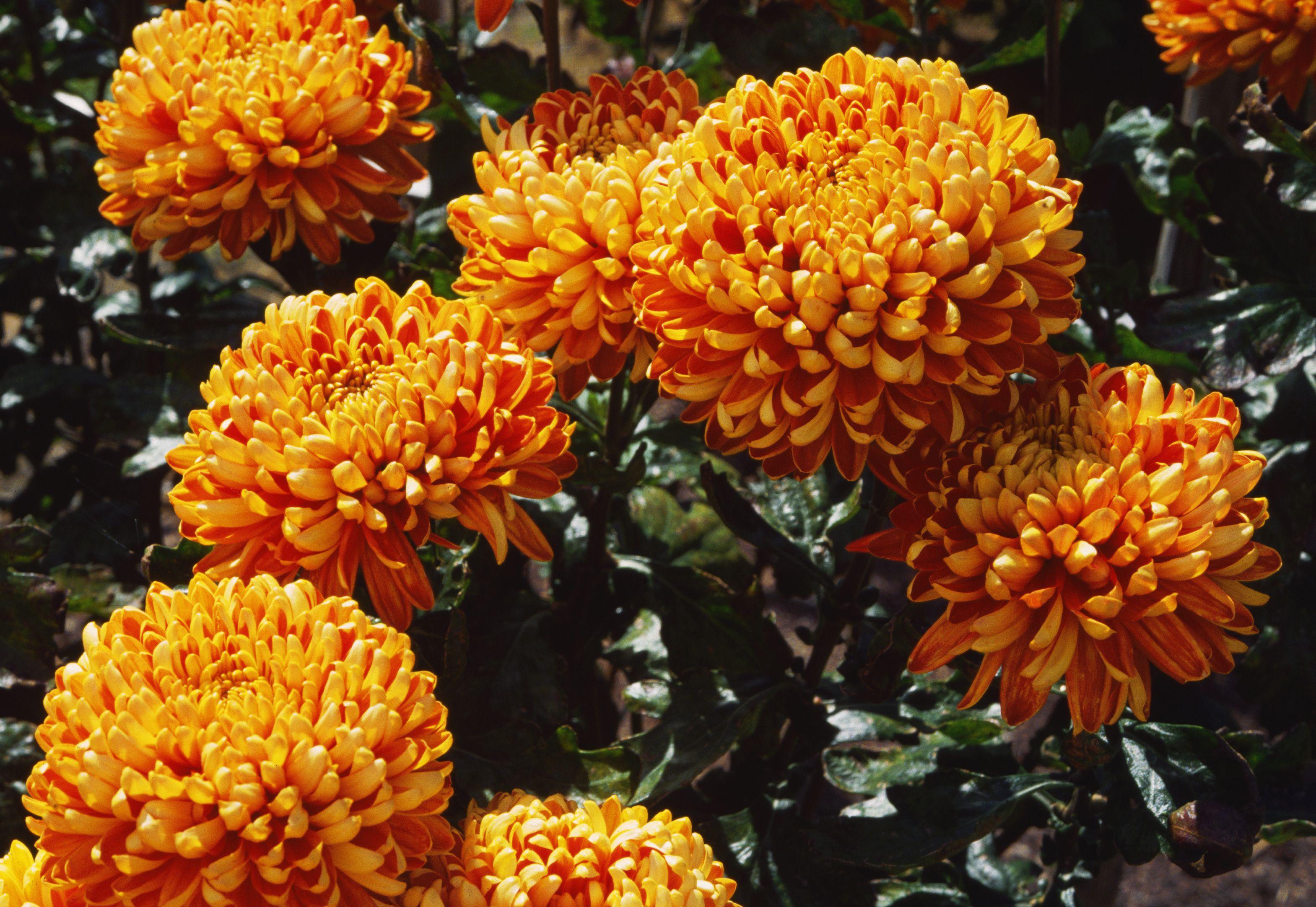 Crisantemos de 'Días de otoño'