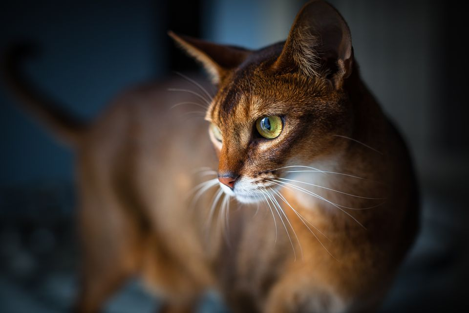 Abyssinian cat up close, side view of face