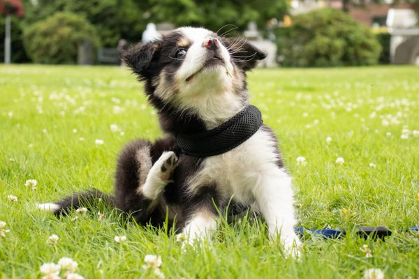 Black and white puppy scratching it's body in middle of grass field with small white flowers