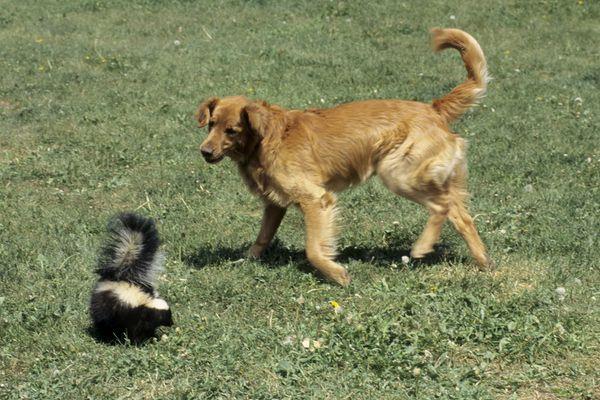 dog sprayed by skunk