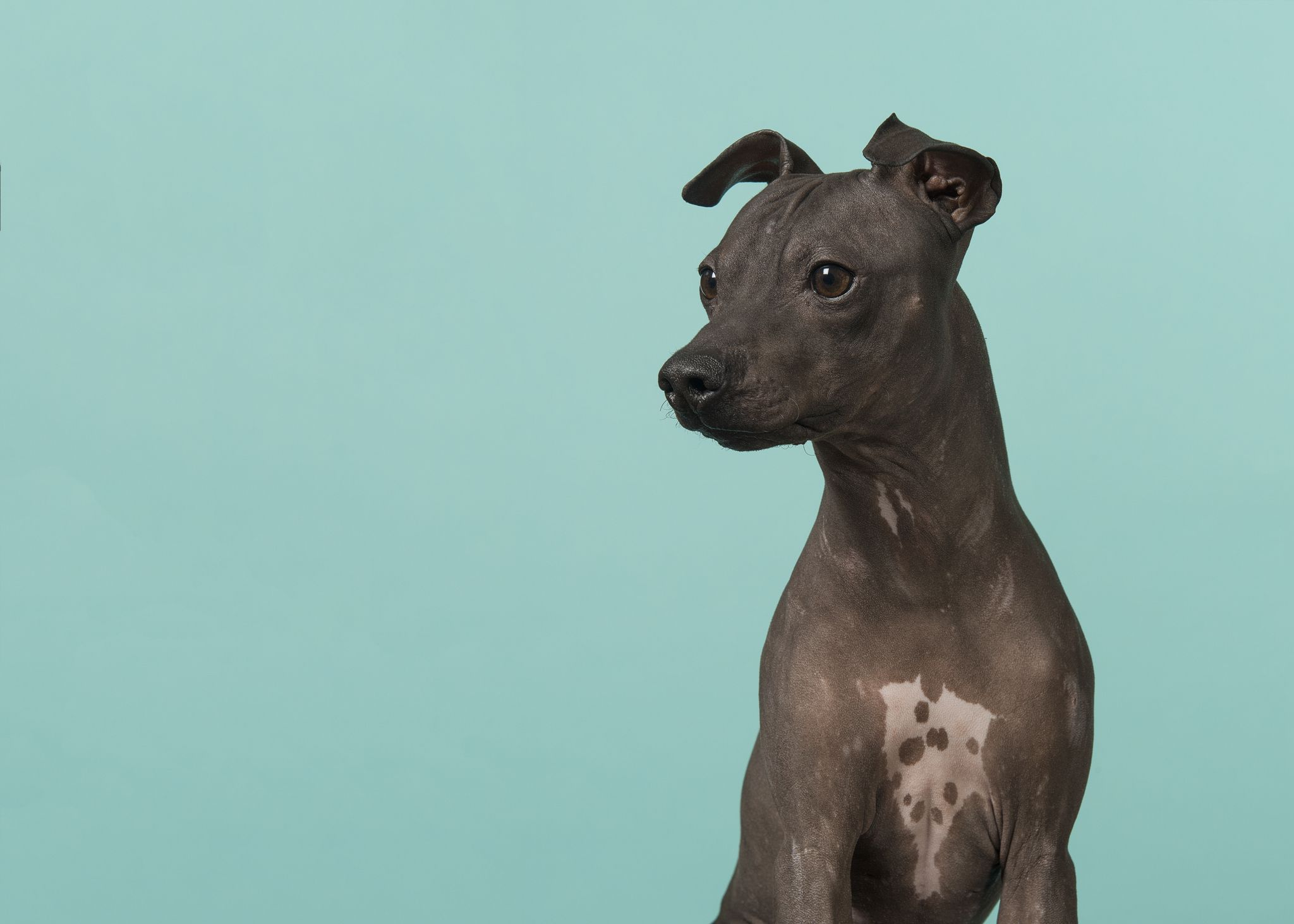 A hairless black dog in front of a light blue background.