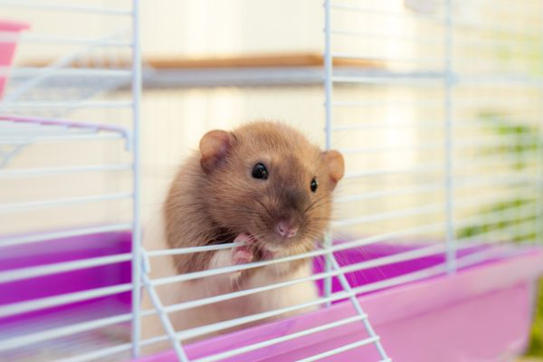 Pet rat looking out of its white cell