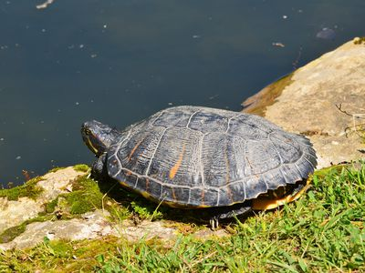 Encouraging Red Eared Sliders to Bask. Aquatic Turtles - Pet Aquatic Turtles And Outdoor Ponds