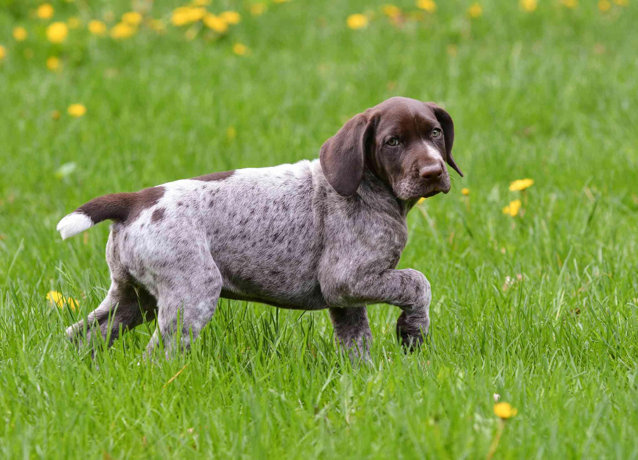 Cachorro de puntero de pelo corto alemán en pasto