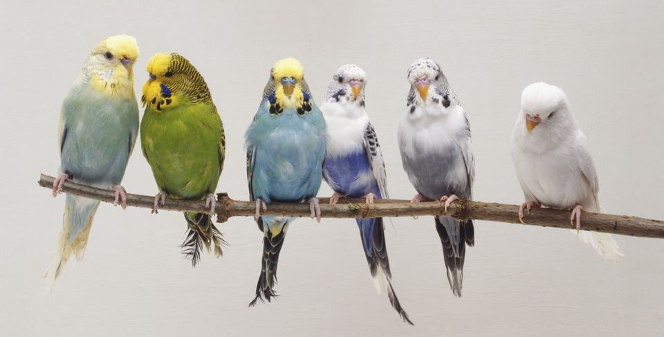 Six Budgerigars (Melopsittacus undulatus) on a twig, front view.