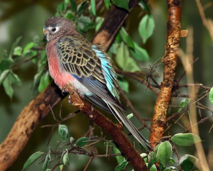 Bourke's parakeet sitting on a tree branch.