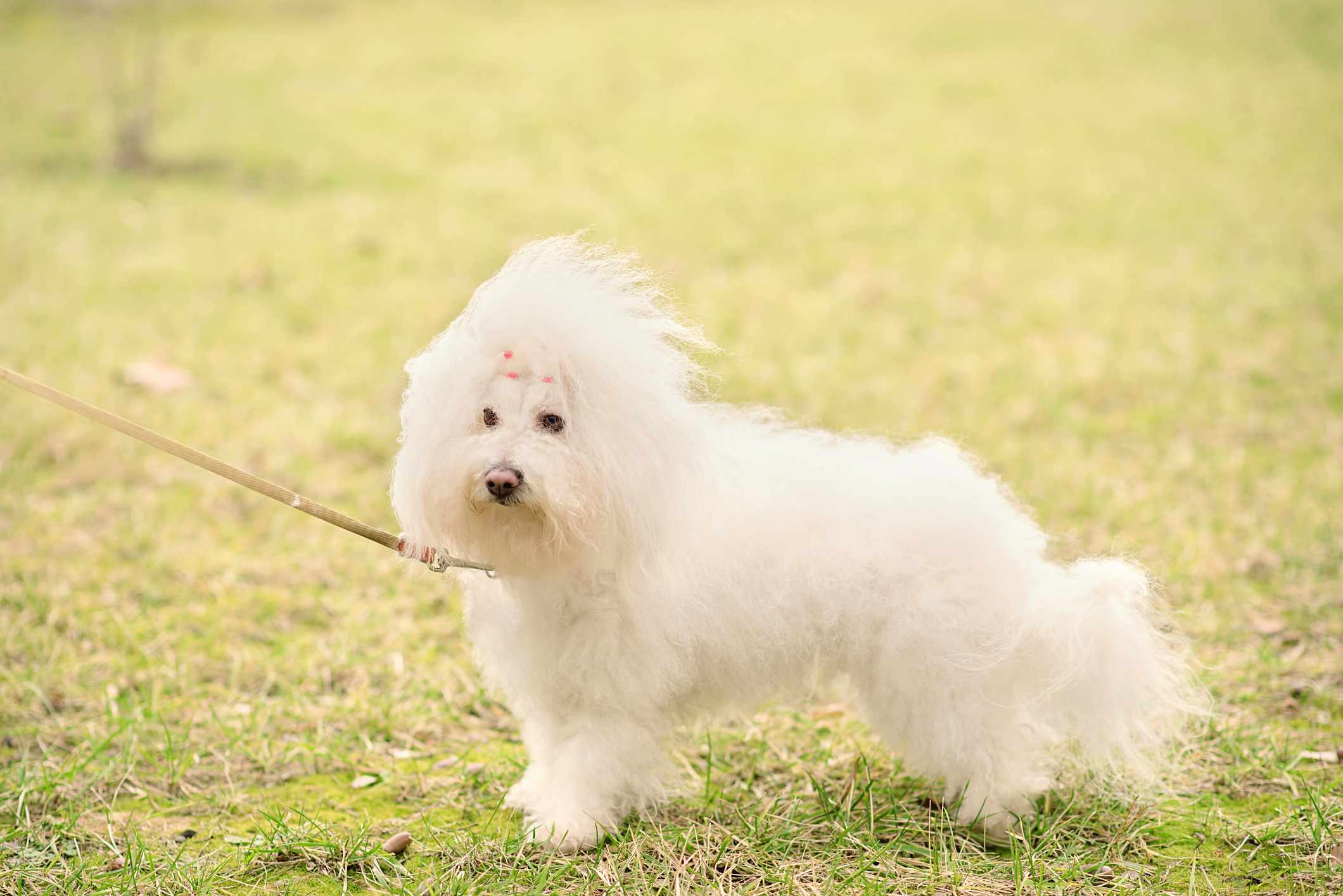A fluffy, white dog standing outdoors.