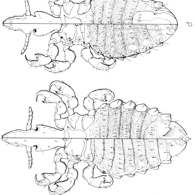 Diagram of a horse louse