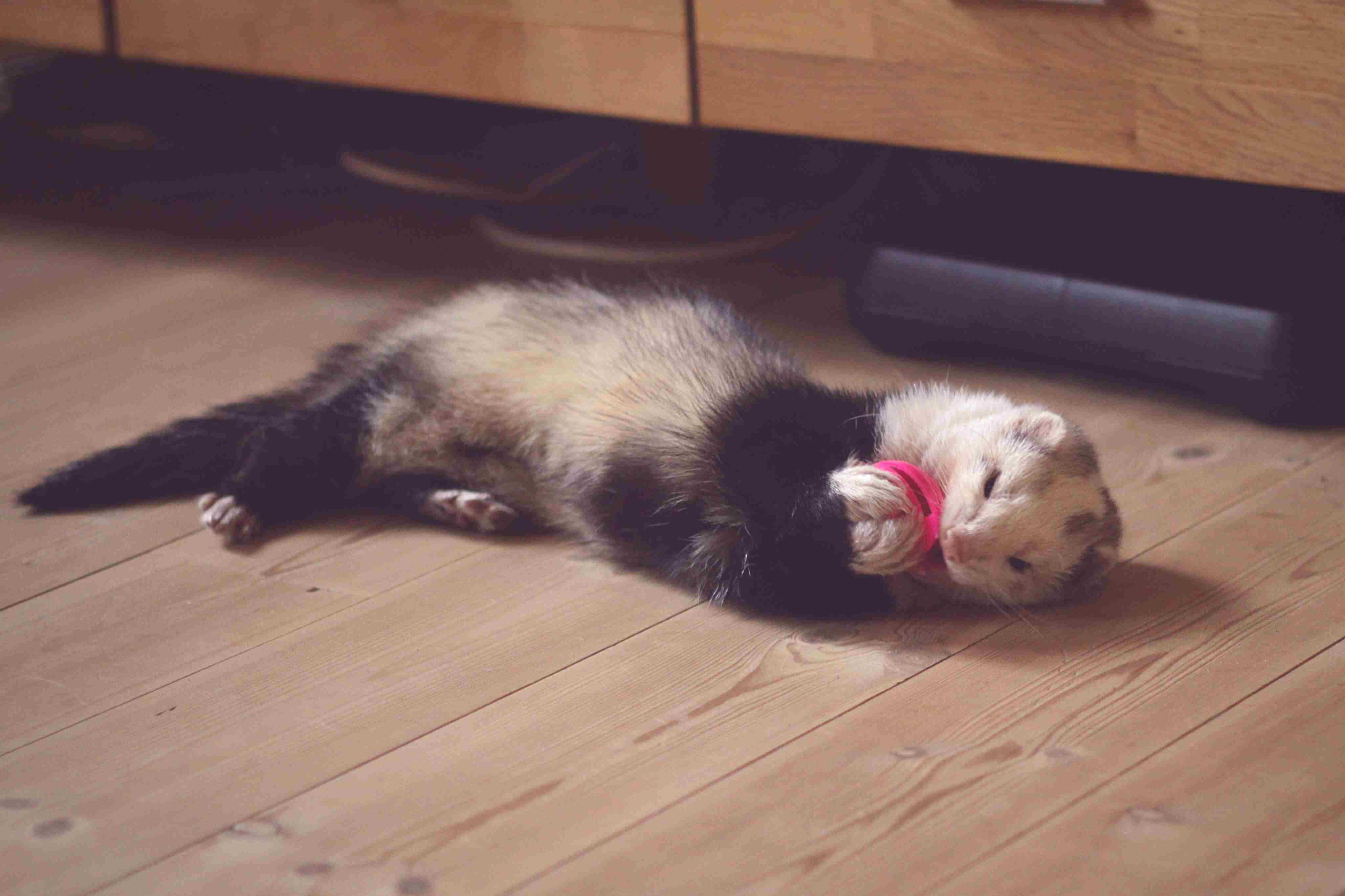 ferret on a wood floor