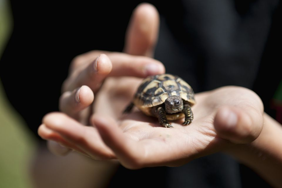 A Guide to Caring for Hermann's Tortoises as Pets