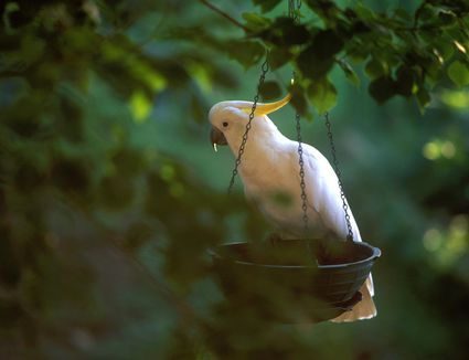 Cockatoo at birdfeeder in tree, side view